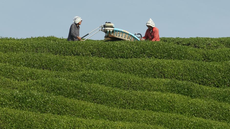 80-year-old Japanese woman Yaeko Asada (L) and Shigeharu Asada harvest fresh green tea leaves at a tea farm in the hills of Ujitawara