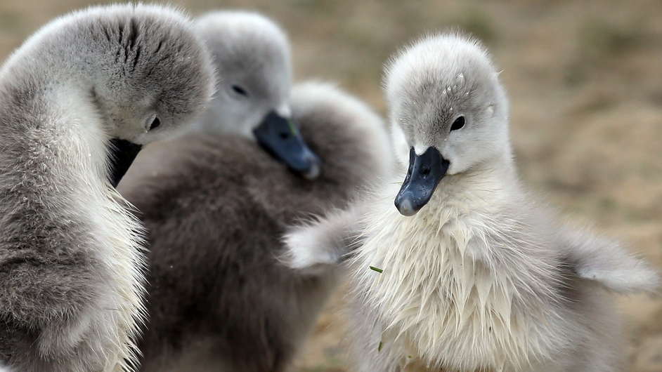 A recently hatched cygnet flaps its wings at Abbotsbury Swannery near Weymouth, England