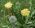 App Article: Dandelion: Our Best Known Weed! (by Terry Flanagan)