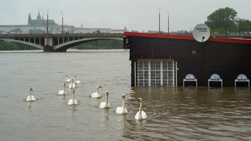 Swans pass by a flooded restaurant in the Vltava river in Prague