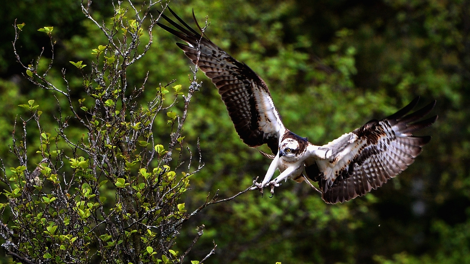 An Osprey in flight at the Loch of the Lowes in Dunkeld, Scotland