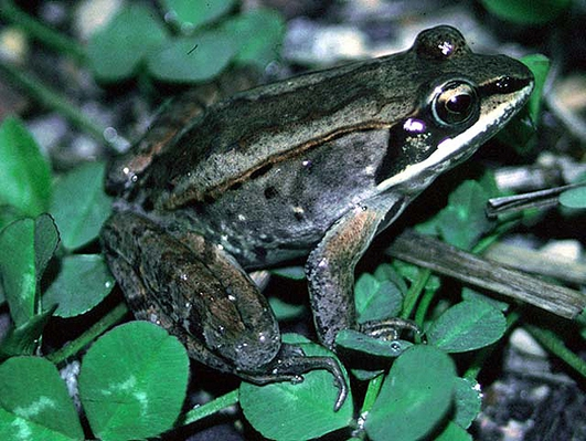 Science Communication & The Wood Frog
