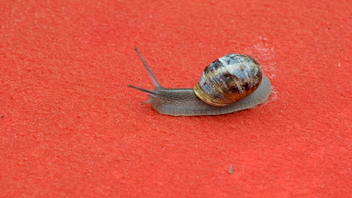 A snail on the red carpet at the Cannes Film festival - it is closely related to the snails found in Ireland