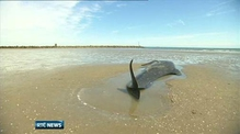 Whale calf dies on Meath beach