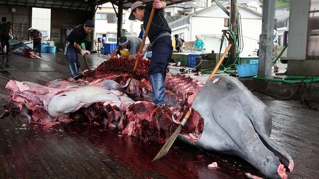 Japanese fishermen butcher a Baird's beaked whale