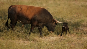 A dog plays with Miura fighting bull at Zahariche land near Lora del Rio, Spain