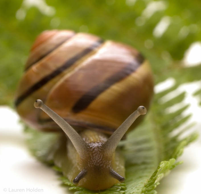 Irish Land Snail