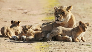 Three lion cubs explore their new surroundings in Adelaide Zoo