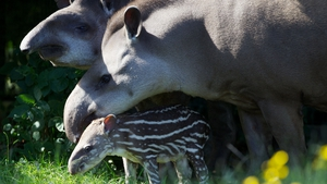 Proud Brazilian Tapir parents Rio and Marmaduke introduce their new baby to sunshine and visitors at Dublin Zoo. Photo courtesy of Dublin Zoo