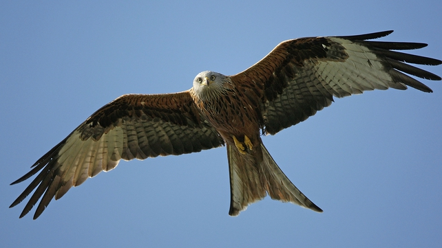 The most frequent casualty was the red kite, with ten dead