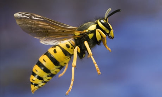 Avoiding Wasps & Keeping Bees