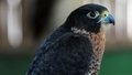 Peregrine Falcons Poisoned