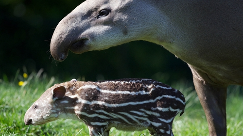 The female tapir involved in the incident had given birth to a calf just last month