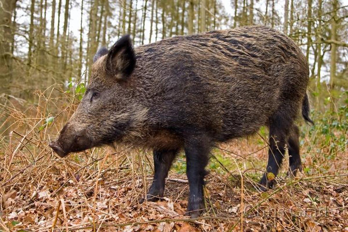 Tusk: Hunting for Ireland's Wild Boar