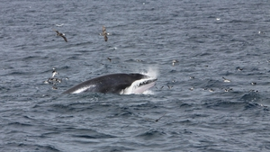 Minke whales have been spotted in Irish inland waters in recent days