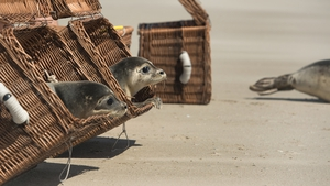 Seals are returned to the wild after being reared by volunteers in Northern Germany