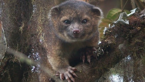 The olinguito is threatened by deforestation (Pic: Smithsonian Institution)