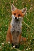 Do We Love or Hate Foxes?