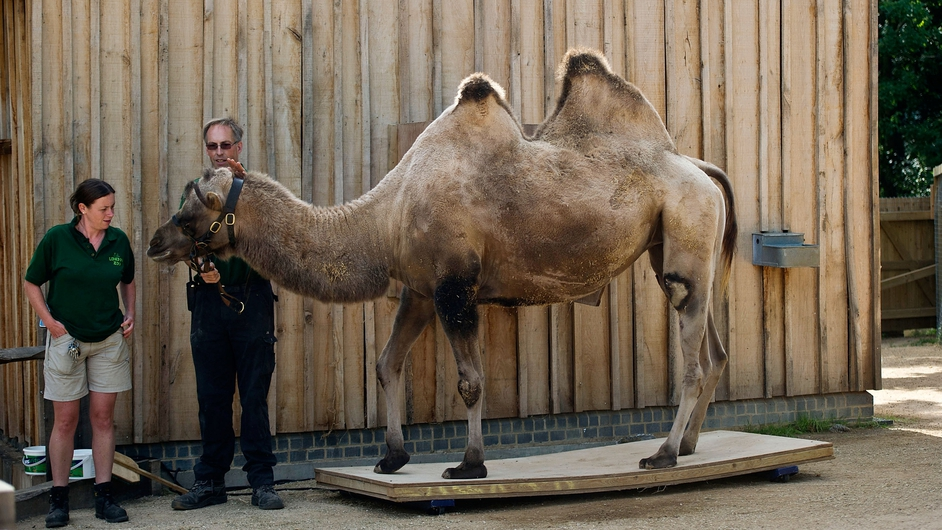 Zookeepers at London zoo weigh a Bactrian Camel as part of the zoo's annual animal weigh in