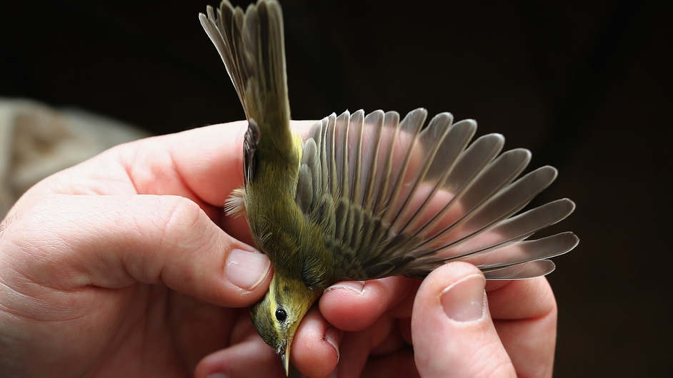 A warbler is recorded at a ringing hut on a private reserve in East Sussex