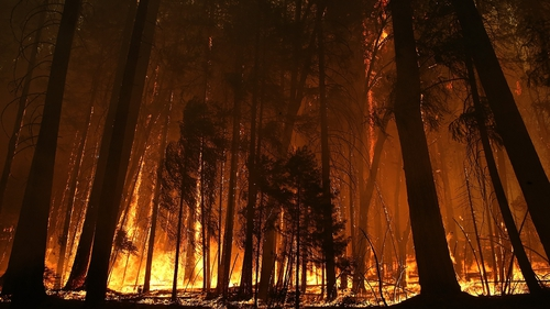 Trees burned by the Rim Fire stand in Yosemite National Park in California