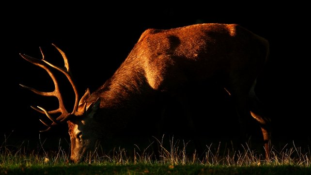 The red deer is a protected species and the hunting of them is banned in Kerry