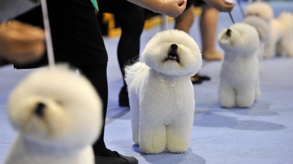 Bichon Frise dogs in a line at the Seoul FCI International Dog Show in Seoul