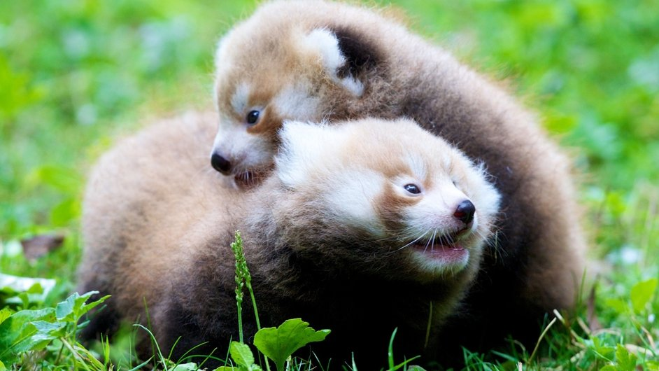 Dublin Zoo's new red panda cubs, born in July, are starting to venture outside their den