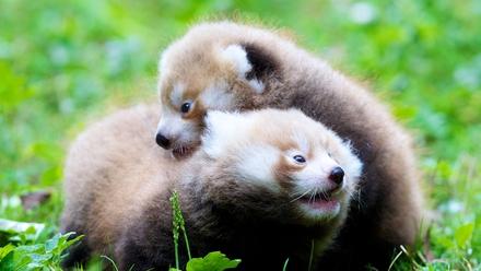 Red Panda Twins