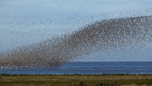 Waders flock together seeking new feeding grounds during the incoming tide at Snettisham Nature reserve in England