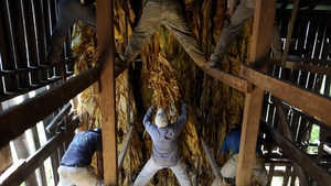 Migrant workers from Mexico and Nicaragua hang Burley tobacco in a barn in Kentucky to start the leaves' six-week curing process