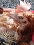 Hen Rescue