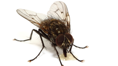 Flies observe motion on a finer timescale than human eyes can