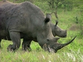 Plight Of White Rhinos