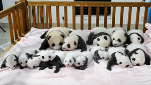 New-born panda cubs displayed on a crib at the Chengdu Research Base of Giant Panda Breeding in Chengdu, southwest China