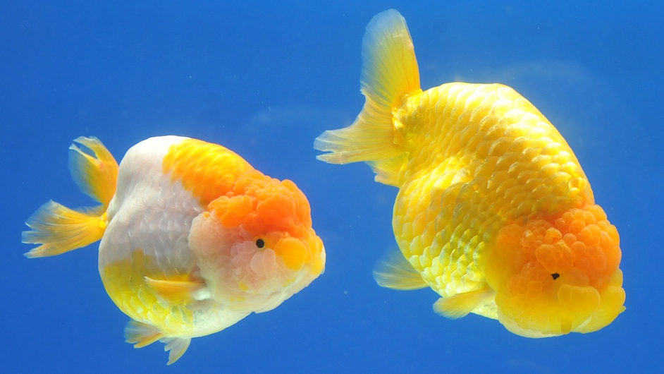 Two giant Ranchu fish are among hundreds on display at the 2013 Taiwan International Aquarium Expo
