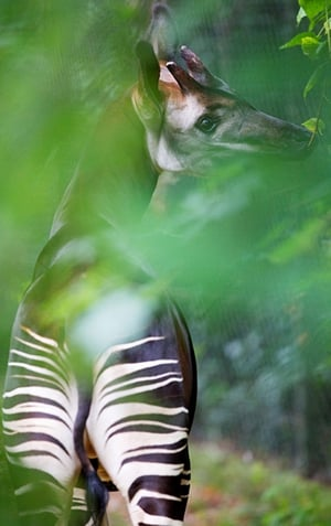 The first Okapis in Ireland have arrived at Dublin Zoo