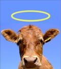 Maia Dunphy & Sacred Cows