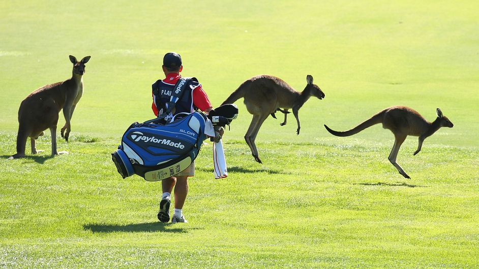 Irish golfer Peter Lawrie's caddie encounters some kangaroos on the 6th fairway during day one of the Perth International at Lake Karrinyup Country Club