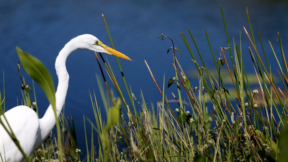 An egret stands in the Everglades National Park in Florida