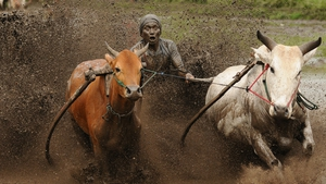 A jockey spurs the cows as they race in Pacu Jawi in Batusangkar, Indonesia
