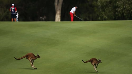 Kangaroos hop across the fairway as Justin Walters of South Africa lines up a shot at Lake Karrinyup