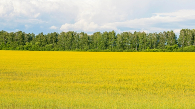 Rapeseed is increasingly being grown by farmers because of its demand in biofuel