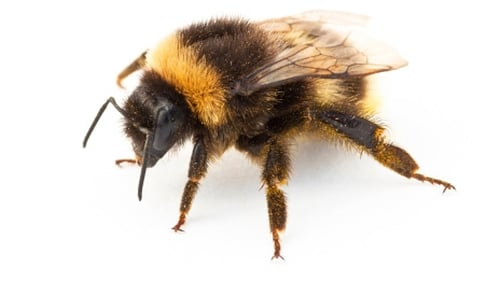 TCD researchers have found that bees improve seed production in rapeseed