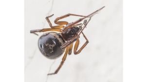 The False Widow spider arrived in Ireland in the 1990s
