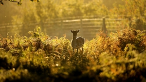A young deer hides among the autumnal bracken at the National Trust's Dunham Massey Park in Altrincham in England