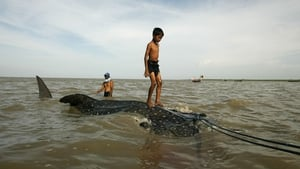 A young boy stands on a whale shark towed by fishermen along the coast of Surabaya in eastern Java island