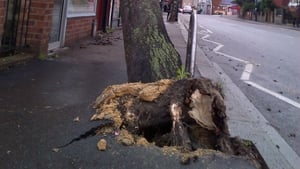 Uprooted trees caused difficulties for motorists and pedestrians