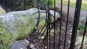 A fallen tree in St George's Square, Pimlico, London