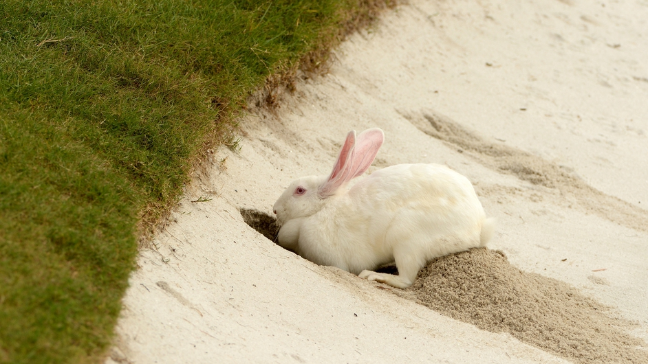 A rabbit is seen during the practice bunker during the first round of the WGC - HSBC Champions at the Sheshan International Golf Club